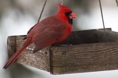 male cardinal (JGKphotos) Tags: bird birds cardinal malecardinal northerncardinal 70d johnkunze