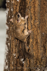 Southern Flying Squirrel Climbing on Oak Tree at Night in Michigan (Lee Rentz) Tags: winter wild usa snow tree nature animal night america forest dark mammal rodent oak eyes woods midwest nocturnal darkness feeding snowy michigan wildlife climbing nighttime bark trunk northamerica behavior redoak centralmichigan bulging midwestern southernflyingsquirrel quercusrubra midmichigan glaucomysvolans assapan mecostacounty