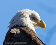 Bald Eagle at the NJ shore Canon 5Ds + Canon 800mm (Mike Black photography) Tags: new usa white black bird mike nature animal canon lens big eagle body year watching birding flight bald nj shore jersey birdwatching 800mm