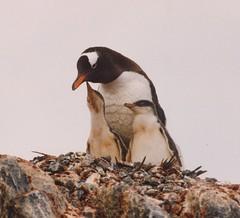 1998_01_16_05 (petermit2) Tags: penguin gentoo antarctica chick antarctic gentoopenguin portlockroy antarcticpeninsula wienckeisland wiencke goudierisland palmerarchipelago