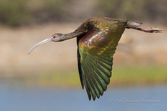BIF - Beauty in flight (cbjphoto) Tags: bird photography inflight wildlife ibis sanctuary avian sanjoaquin whitefaced carljackson