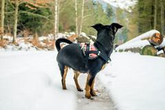 (loux.marvin) Tags: dog snow raw bokeh outdoor samsung mini nx