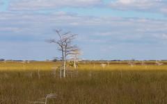 IMG_9971 ENP (JRCmoreno) Tags: winter grass florida swamp everglades evergladesnationalpark sabana whitetrees