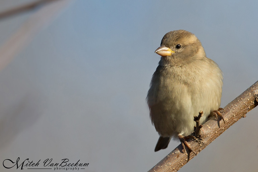 Hello Cutie! (Female House Sparrow)
