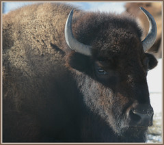 ((( Bison Introspection ))) (Wolverine09J ~ 1 Million + Views) Tags: minnesota fauna zoowildlife naturesgallery naturescreations fantasticnaturegroup blinkagain winterbison thelooklevel1red animalsworldlevel1 febcomozoo bisoncameo