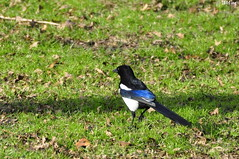 Elster (MacroManni) Tags: germany deutschland kln nrw rabenvogel elster rheinpark