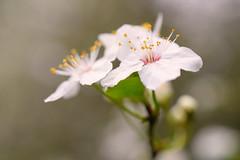 Plum Blossoms (Penseroso) Tags: bokeh blossoms plumblossoms micronikkor40mmf28 nikond5300