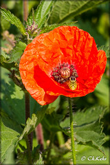 IMG_8517 (skywallkehr) Tags: fleurs coquelicots
