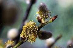 Wilgenkatje Salix (Henk M gardenphotoblog) Tags: flowers winter garden outdoor tuin signofspring lenteteken nimg0535