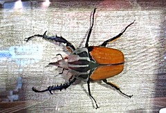 Goliath Beetle (DianesDigitals) Tags: beetles goliathbeetle goliathus dianesdigitals