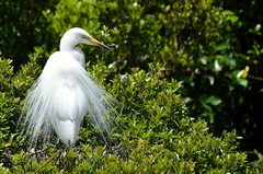 Eastern great egret, adult in breeding plumage (New Zealand) (|kris|) Tags: newzealand wild white black fern tree bird heron nature animal yellow forest neck grey bill rainforest long adult nest native outdoor wildlife beak waterbird aves ardea breeding nz southisland westcoast egret westland greategret wading vogel plumes nesting nieuwzeeland plumage greatwhiteegret ferntree ardeidae nuevazelanda ardeaalba sdinsel necked ciconiiformes pelecaniformes whiteheron okaritolagoon greatwhiteheron chordata kotuku nuovazelanda aquaticbird whataroa nyazeeland nouvellezlande iledusud zuidereiland aalba ardeaalbamodesta ardeamodesta easterngreategret ktuku nationallycritical waitangirotonaturereserve waitangiroto egretaalbamodesta