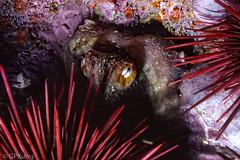 Urchins and Octopus (Gary P Kurns Photography) Tags: california film nikon underwater events scuba channelislands kodachrome64