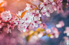 Bloom (Psztor Andrs) Tags: pink blue sky orange flower tree nature lens photography leaf spring nikon hungary dof projector blossom bokeh bubble bloom shallow manual pentacon dslr f28 andras 80mm pasztor d5100