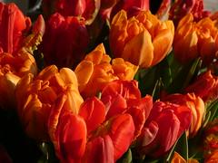 tulips (polletjes) Tags: flowers orange nature colors spring natuur blume lente printemps bloemen oranje tulpen kleurrijk fruehling