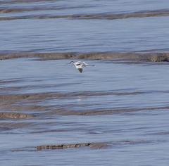Avocet (1) (Mal.Durbin Photography) Tags: nature birds newport naturereserve newportwetlands maldurbin goldcliffnewport