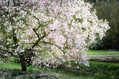 - fairytale - (=|Rod=) Tags: spring bloom magnolia blueten fruehling helios44m4 rhododendronpark fujixt1