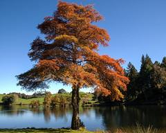 Mclaren Falls Park (Kiwi-Steve) Tags: autumn red newzealand tree fall landscape nikon nz northisland tauranga bayofplenty nikond90 mclarenfallspark