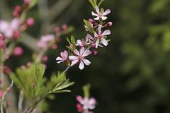 Prunus tenella (thmlamp) Tags: flower iso400 blüte ef24105mmf4lisusm 1050mm 11600sec prunustenella ƒ50 canoneos5dmarkiii zwergmandel