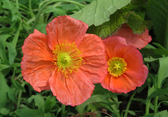 Icelandic Poppies (qt flickr) Tags: longwoodgardens spring2016