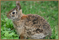 Soft & Furry (bigbrowneyez) Tags: bunny nature beautiful grass furry soft pretty sweet conejo watching adorable ears natura precious frame mygarden attention visitor alert cornice coniglio miogiardino softfurry