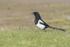 Magpie (Paul..A) Tags: magpie corvid