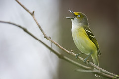 White-eyed Vireo, Eagle Creek Park, Indianapolis, IN, 4-21-2016 (Ryan J Sanderson) Tags: park county 2 creek canon pond eagle ryan mark indianapolis skating indiana marion ii 7d sanderson vireo whiteeyed 7d2 7dii