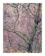 Trees Veluwe Kootwijk NL (Bert Vliegen) Tags: autumn trees nature netherlands nederland natuur kodakektachromee100vs howtekd4000 chamonix45n2 rodenstocksironars180mm
