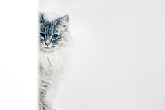 Hide & seek (jinterwas) Tags: white cat furry kat free shy cc whitebackground creativecommons hiding onwhite wit nevamasquerade verlegen verstoppertje coth freetouse witteachtergrond coth5