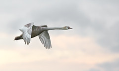 Mute Swan at ISO1250... (Gerry Gutteridge) Tags: light canon swan flight swans birdsinflight highiso flightshot eyebrookreservoir gerrygutteridge