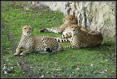 Las Tres Hermanas (Caro Rolando) Tags: felinos animales temaiken chitas