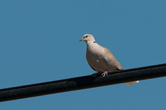 Dove on the Wire (martytdx) Tags: ca birds adult lifelist dove eurasiancollareddove streptopeliadecaocto streptopelia columbidae jacumba