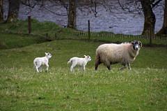 Mum And Lambs (eric robb niven) Tags: cycling scotland lambs glenlyon ericrobbniven