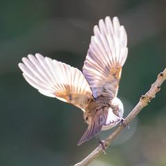 Robin Heart -1094 (Martin Horne1) Tags: bird robin