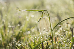 Kievitsbloem-9229-2 (Josette Veltman) Tags: flower bokeh rare bloemen zwolle bloem zeldzaam kievitsbloem kievitsbloemen