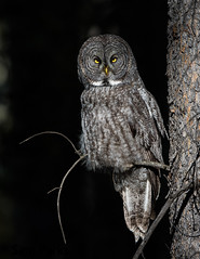 GG67 (Sam Parks Photography) Tags: trees wild summer usa bird fall nature animal forest rockies wings woods nps wildlife unitedstatesofamerica ghost feathers meadow aves raptor northamerica rockymountains wyoming greatgrayowl phantom predator carnivorous naturalworld jacksonhole avian tetonrange parkservice strigiformes grandtetonnationalpark predatory strixnebulosa gye mountainous carnivora strigidae gtnp autummn verticalorientation greateryellowstoneecosystem carniore