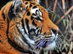 Tiger. (Gnter Hentschel) Tags: germany deutschland zoo tiere nikon europa tiger alemania nrw tierpark allemagne tiergarten germania allwetterzoo allwetterzoomnster d40 raubkatzen d3200 nikond40