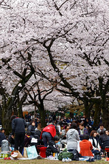20160405-048-Picnics under Yoyogi-koen cherry blossoms (Roger T Wong) Tags: travel people holiday japan garden balloons tokyo spring picnic crowd harajuku cherryblossoms yoyogikoen 2016 canonef70200mmf4lisusm canon70200f4lis canoneos6d rogertwong