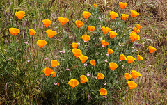 Clump of Poppies (wyojones) Tags: california plant mountains flower grass ravine np draw californianpoppy bakersfield californiapoppy californiapoppies arvin goldenpoppy eschscholziacalifornica gulley cupofgold wyojones californiasunlight