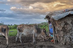 visitor at the front door (charlesgyoung) Tags: africa tanzania nikon safari maasai d3 boma serengetinationalpark wildlifephotography charlesyoung nikonfx nomadtanzania karineaignerphotographyexpedition