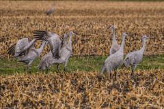 160322-Spring Migration-4 (Lynnette_) Tags: birds animals march spring nebraska seasons events places cranes rivers month sandhillcranes 2016 springmigration platterivervalley naturesubjects cranemigration cranescootsandrails