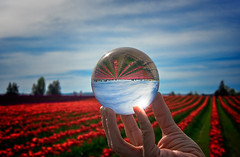 In a reverse world (Repp1) Tags: blue red sky usa clouds rouge washington bleu ciel nuages crystalball skagitcounty tulipfields bouledecristal champsdetulipes