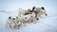 Sled dog team (Lil [Kristen Elsby]) Tags: winter arctic greenland dogsledding arcticcircle sleddogs dogsled travelphotography ilulissat westgreenland ilulissaticefjord vestgronland greenlandicdogs canong12