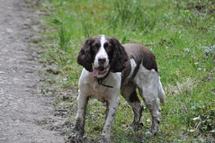Roxi (Stephen-King) Tags: old white 11 spaniel years liver
