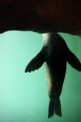 up. ( #cc ) (marfis75) Tags: water headless zoo aquarium wasser underwater schwimmen frankfurt dive diving cc creativecommons tier kopflos flosse zootier seelwe tauchen unterwasser frankfurterzoo hoch seehund becken meerjungfrau rauf zoofrankfurt meermaid ccbysa marfis75