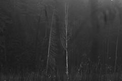 just between us (Mindaugas Buivydas) Tags: morning trees bw mist tree fog forest dark march spring mood moody gloomy darkness eerie fir birch lithuania darkforest lietuva verkiairegionalpark sadnature verkiaiforest