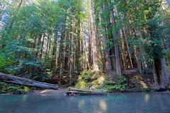 In The Redwoods (SteveD.) Tags: ca northerncalifornia unitedstates redwoods humboldtcounty eureka redwoodnationalpark delnortecounty northcoast lostcoast steved rockefellergrove humboldtredwoodsstatepark prairiecreekstatepark bullcreekflats stevedunleavy2016