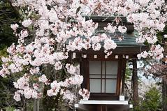 Sheltered (Wunkai) Tags: japan  cherryblossom sakura jinja   lanterm gokokushrine  ibarakiken mitoshi