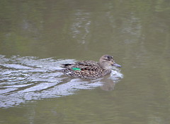 Female Green-winged Teal (Neal D) Tags: bird duck bc surrey crescentbeach greenwingedteal anascrecca blackiespit