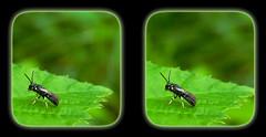 Modest Masked Bee, Sensu Stricto, On Serated Leaf 1 - Parallel 3D (DarkOnus) Tags: macro closeup insect lumix stereogram 3d pennsylvania panasonic bee stereo masked parallel stereography buckscounty modest sensu modestus hylaeus stricto dmcfz35 darkonus
