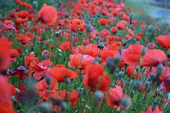 Sea of Poppies (Viagens5) Tags: flowers red plants flores verde green beauty photography photo nikon vermelho fotos poppies fields beleza fotografia papoilas